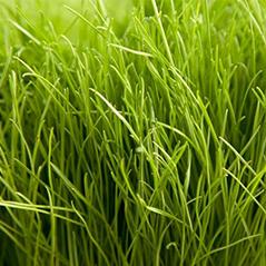 Calibra Tetraploid Perennial Rye