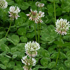 white clover mini