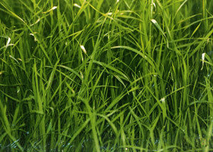 Kingston_Ryegrass